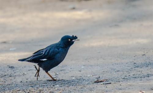 八哥的饲料制作及雏鸟的填喂